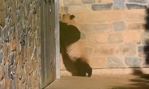 Gấu trúc mẹ tuyệt vọng trèo tường để tìm con