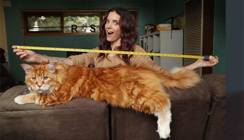 Mèo dài 1,2 mét lập kỷ lục thế giới