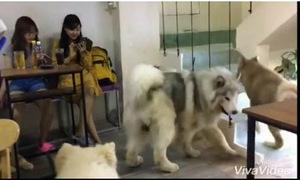 Video 'Đàn chó thích đi ngược' hút like Facebook