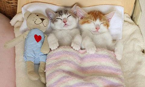 Hai chú mèo không thể ngủ nếu không được đặt lên giường cùng nhau
