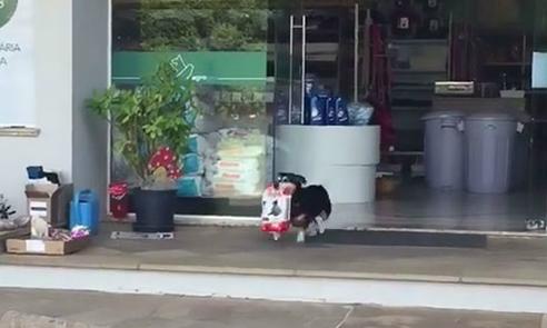 Chó tự đến cửa hàng mua thức ăn cho mình mỗi ngày