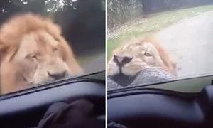 Sư tử gặm lốp ôtô của du khách tham quan công viên