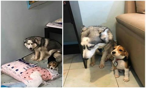 Ảnh hai chú chó bị phạt vì tội bày bừa hút like Facebook