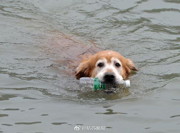 Con chó này thường xuyên nhảy xuống sông, ngoạm lấy chai lọ trôi nổi trên sông rồi bơi trở lại bờ và cho chai vào thùng rác.