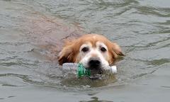 Chó nhảy xuống sông nhặt rác mỗi khi đi dạo với chủ