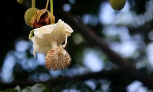 Cây bao báp lớn tuổi nhất Sài Gòn nở rộ hoa