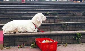 Hình ảnh cừu xin ăn ở Đà Lạt khiến cộng đồng bức xúc