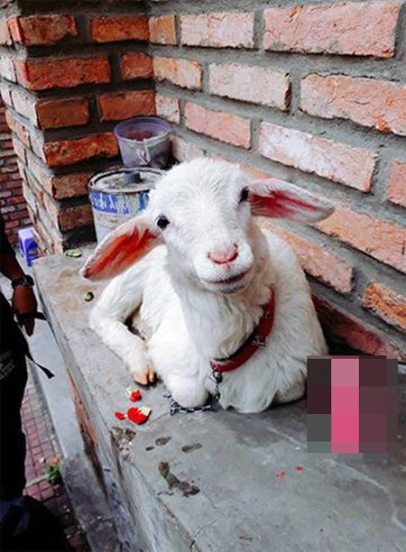 Vẻ mặt ngây thơ của chú cừu đã khiến nhiều người thương xót, phải móc ví cho tiền.