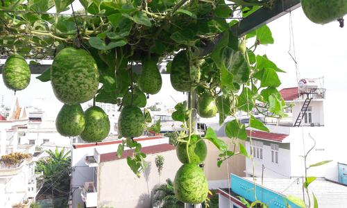 8X thu hàng trăm kg rau quả trên sân thượng bằng cách trồng không dùng đất