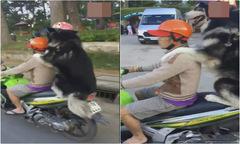 Chó đội mũ bảo hiểm ngoan ngoãn dạo phố trên xe máy với chủ