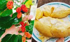 Cuối tuần, ghé miệt vườn ăn trái cây thỏa thích