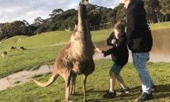 Đi thăm công viên hoang dã, bé trai bị kangaroo đấm vào mặt