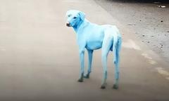 Chó chuyển da xanh sau khi uống và tắm nước sông nhiễm độc