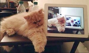 Loạt ảnh hài hước khi loài mèo mê công nghệ
