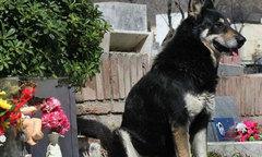 Chó 10 năm đứng canh bên mộ chủ