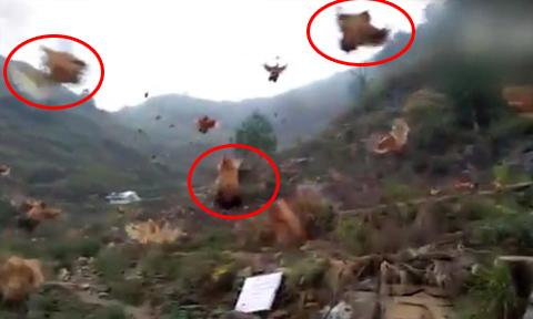 Những con gà biết bay ở Trung Quốc