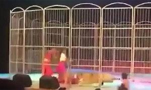 Diễn viên xiếc bị hổ vồ, kéo lê trên sân khấu