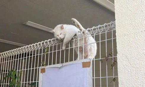Mèo leo trèo, ngủ quên trên hàng rào