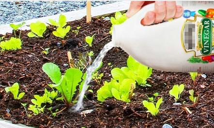 Vườn rau 'lớn như thổi' nhờ công dụng của giấm