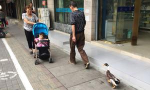 Người đàn ông dẫn vịt cưng đi dạo 3 km mỗi ngày