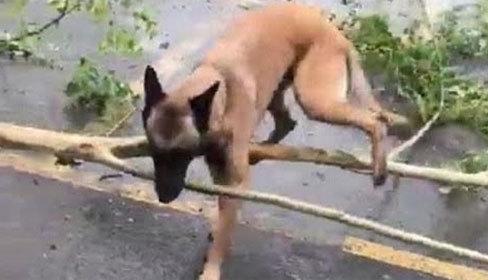 Chó cưng giúp chủ dọn dẹp sau bão