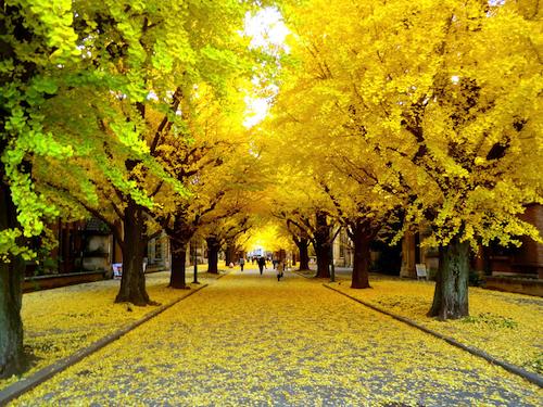Cuối thu, rừng lá Ginkgo ở Đại học Tokyo chuyển sang màu vàng thơ mộng  (Nguồn ảnh: www.examinatur.wordpress.com)