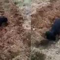 Chó lấp đất trồng khoai giúp chủ nhân