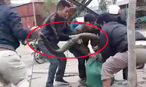 Người dân vây bắt rắn khủng dài 5 m ở Vĩnh Phúc
