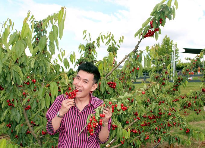 Giọng ca Tình phiêu lãng đến thăm vườn cherry trĩu quả. Vé vào tham quan và thưởng thức cherry no nê ngay tại vườn là 15 AUD (khoảng 260.000 đồng).