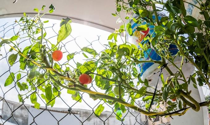 Những quả cà chua đã chín đỏ.