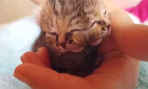 Con mèo sinh ra có hai khuôn mặt và ba mắt