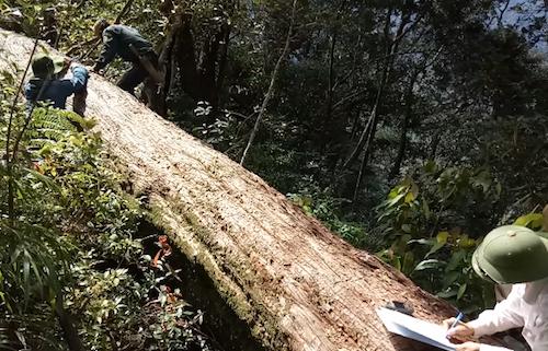 Hiện trường vụ 189 cây pơ mu bị chặt hạ được phát hiện hồi tháng 2.