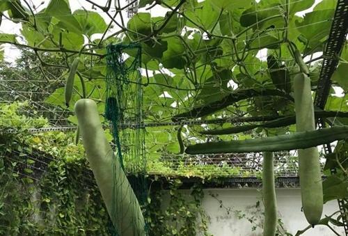 Chị Hồng Diễm ưu tiên việc làm đất để cây có nền tảng tốt phát triển. Chủ nhân khu vườn sử dụng cá rô phi đồng, vỏ chuối, vỏ trứng, vỏ tôm, bã cà phê, bã đậu nành ủ làm phân.Mọi thứ đồ thừa trong nhà bếp đều có thể tận dụng để bón cây, vừa sạch, vừa giàu dinh dưỡng, chị Diễm nói.