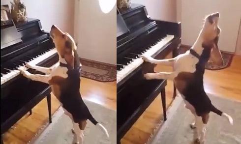 Chó trổ tài vừa chơi đàn piano vừa hát