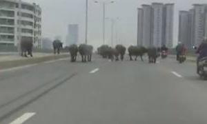 Đàn trâu chạy rông giữa phố Hà Nội