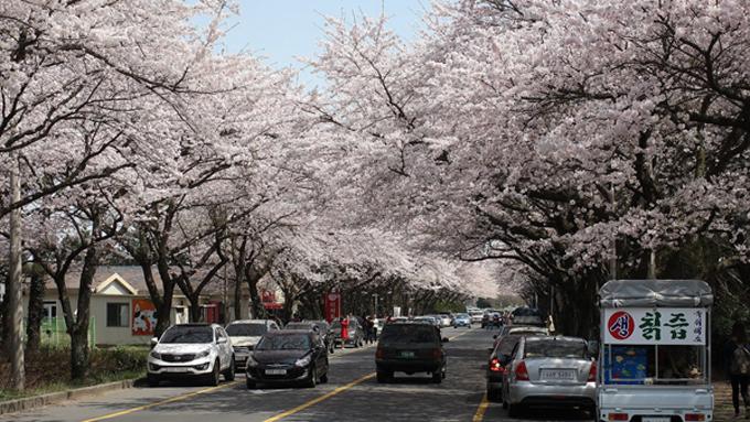 Đường hoa anh đào đẹp trên đảo Jeju.