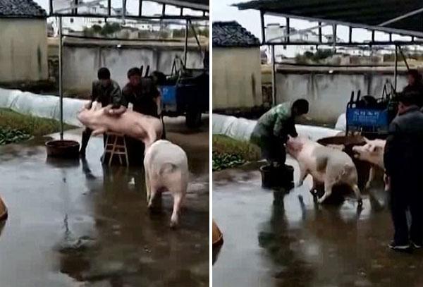 Hành động nhanh nhẹn và anh hùng của con lợn có đốm khoang trên lưng khiến người dùng mạng thích thú.