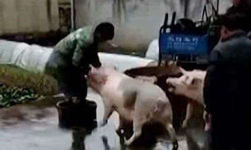 Lợn xông vào đánh người để cứu đồng loại sắp bị thịt