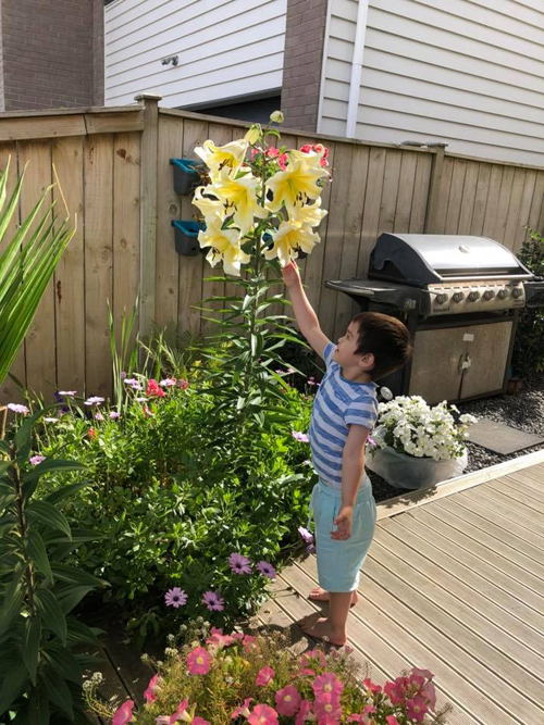 Ngoài ly hồng, cây ly vàng nhà chị Mơ cũng sai hoa và có chiều cao 150 cm.