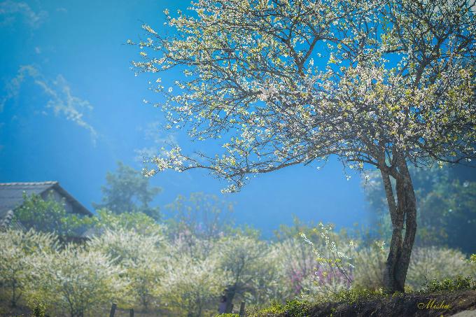 Mọi năm, thường phải tới Tết âm lịch hoa đào, hoa mận mới bắt đầu nở nhưng năm nay thời tiết ấm sớm nên từ thời điểm này, đa phần các thung lũng hay vườn đào, vườn mơ, mận đã bắt đầu bung nở khoe sắc rực rỡ. Thời điểm đẹp nhất để tới Mộc Châu ngắm hoa năm nay có lẽ chỉ tới Tết âm lịch mà thôi. Ảnh: Đặng Thuỳ Linh