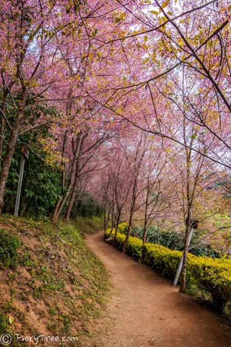 Tết này, dạo chơi ở thung lũng thập lý đào hoa - 4