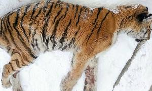 Hổ cái đau răng mò vào cửa nhà dân nhờ giúp đỡ