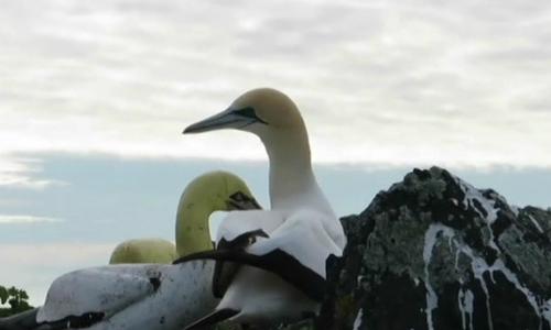 Chú chim ó cô độc nhất thế giới qua đời sau 3 năm yêu tượng chim giả