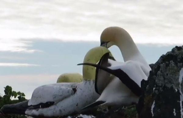 Nigel bên cạnh tượng con chim giả mà nó đem lòng yêu.