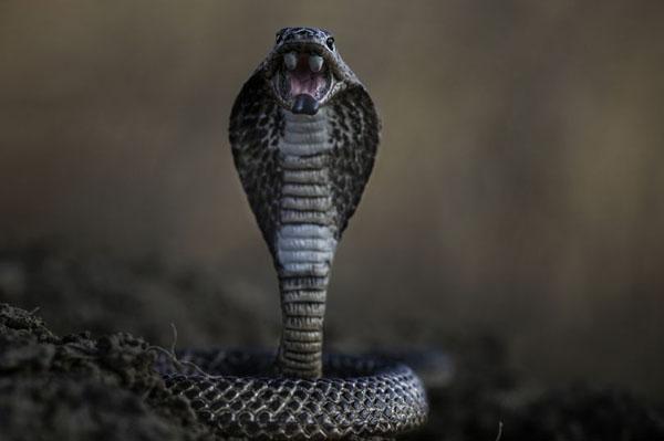 Rắn hổ mang là một trong những loài rắn độc nhất. Ảnh: EyeEm