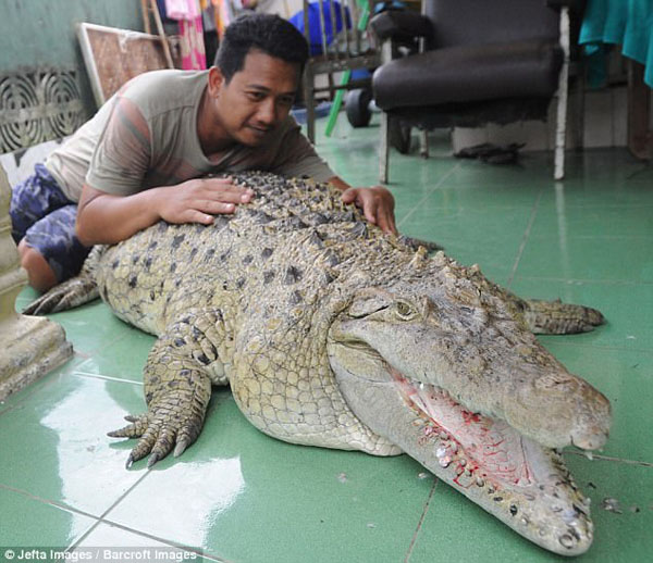 Anh Muhammad thực sự yêu quý con cá sấu và xem nó như một phần trong gia đình. Ảnh: Barcroft