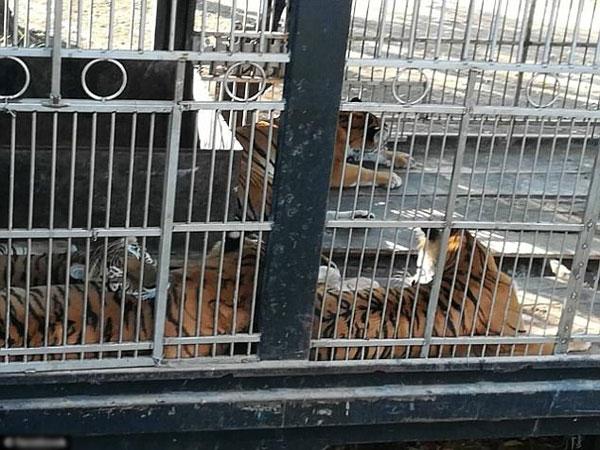 Những con hổ được nuôi nhốt trong chuồng và được cho ăn hai ngày lại bỏ đói một ngày.