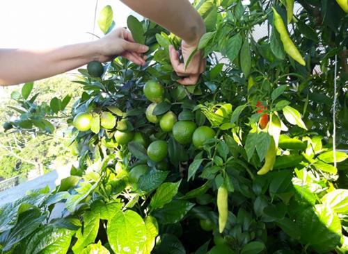 Các loại rau trong vườn nhà anh Toàn được trồng theocụm. Cụm cây gia vị gồm chanh, ớt, húng quế. Phía dưới là lá lốt, cà chua...