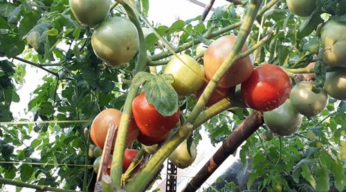 Tại mảnh vườn nhỏ, anh Toàn hay dạy con về các loại rau, giúp bé vun đắp tình yêu thiên nhiên, cây cỏ.