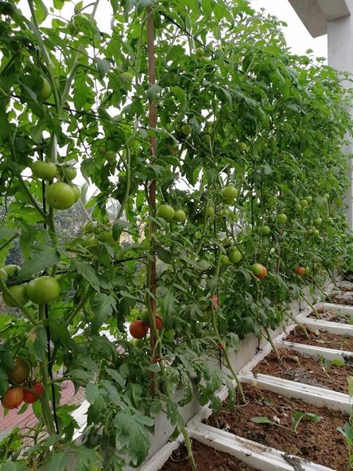 Khu vườn nhà anh Sáng trồng khoảng 18 cây cà chua, cây nào cũng sai trĩu quả.